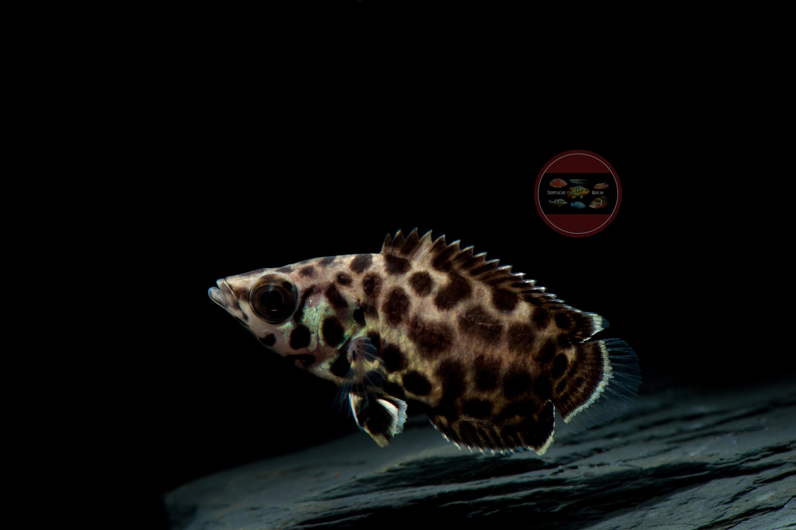 Leopard-Buschfisch Ctenopoma acutirostre