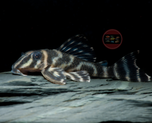 L 199 Orinoko-Zebrawels, WF Hypancistrus furunculus 8-10 cm