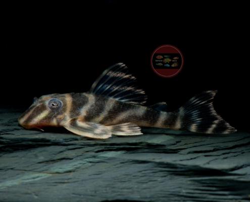 L 199 Orinoko-Zebrawels Hypancistrus furunculus