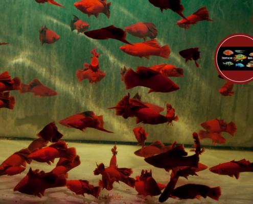 "Schwertträger ""Blood Red Highfin"" Xiphophorus helleri ""WIEN BROCCOLI"""