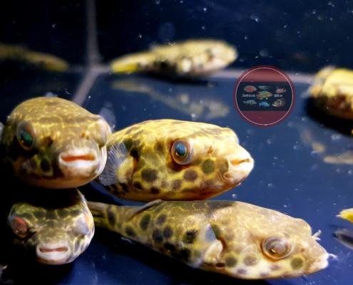 Leopardkugelfisch Tetraodon schoutedeni