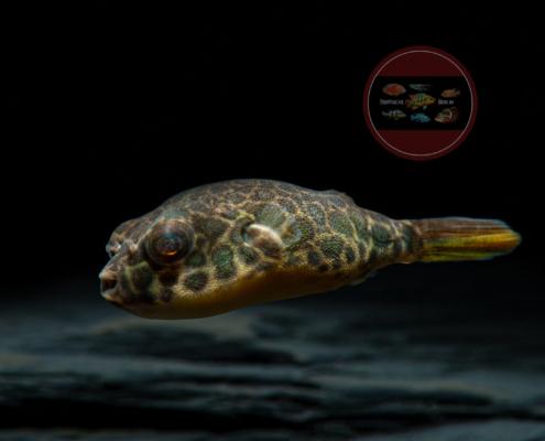 Leopard-Kugelfisch Tetraodon schoutedeni