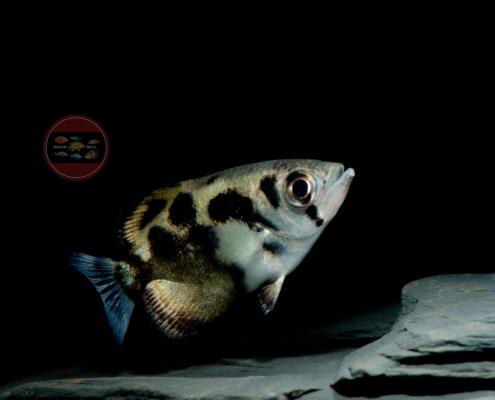 Leopard-Schützenfisch Toxotes blythii, (Süßwasser)