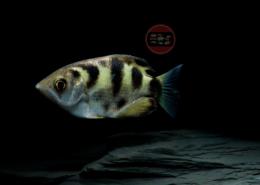 Schützenfisch Toxotes jaculatrix