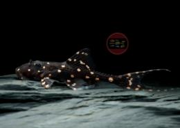 Elfenwels, WF-Peru Acanthicus adonis