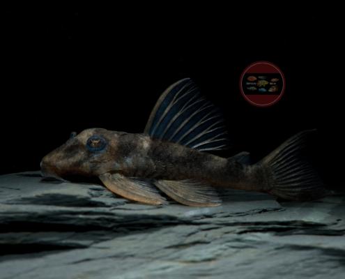 """L 339 Schwarzer Hypancistrus Hypancistrus cf. lunaorum """"Black"""""""