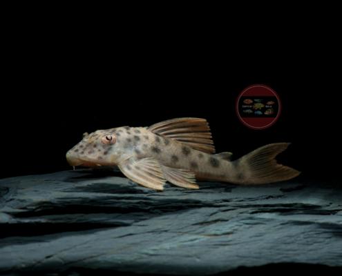 L013 Ancistomus sp Rio Xingu