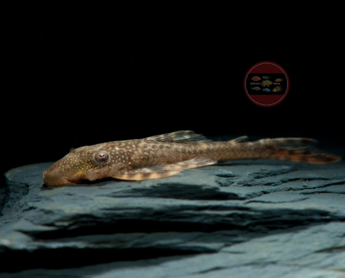 L 092 Weißpunkt-Lasiancistrus, WF Lasiancistrus tentaculatus 4,5-6 cm