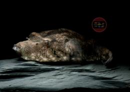 Schweinenasen-Kugelfisch Tetraodon suvattii 8-9 cm