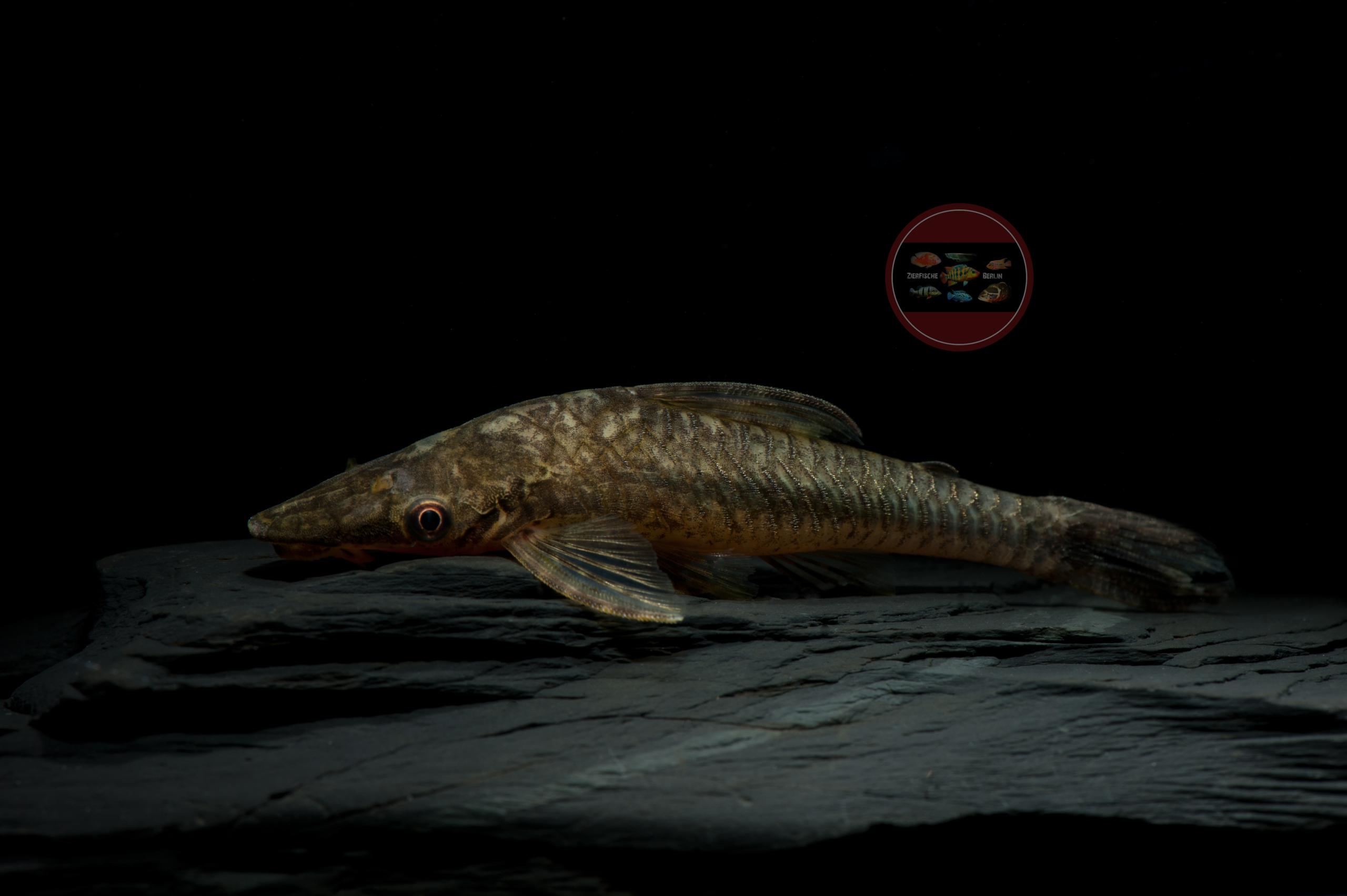 Riesen-Ohrgittersaugwels, WF-Peru Hypoptopoma psilogaster