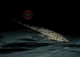 "Netzmuster-Flunderharnischwels, WF Pseudohemiodon sp. ""Peru I"" 8-10 cm"
