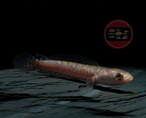 Gestreifter Schlangenkopffisch WF Channa striata