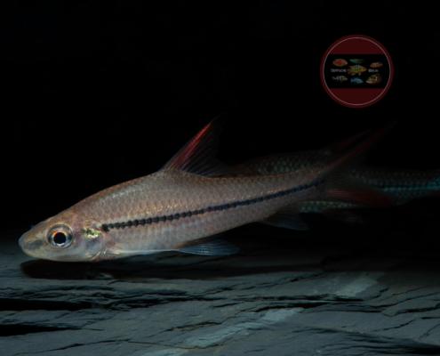 Schönflossen-Haibarbe Cyclocheilichthys janthochir