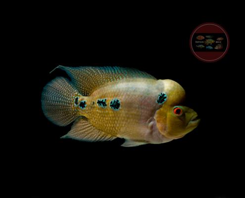 Flowerhorn golden base red dragon thai silk srt king kamfa red texas red mammon king kong parrot