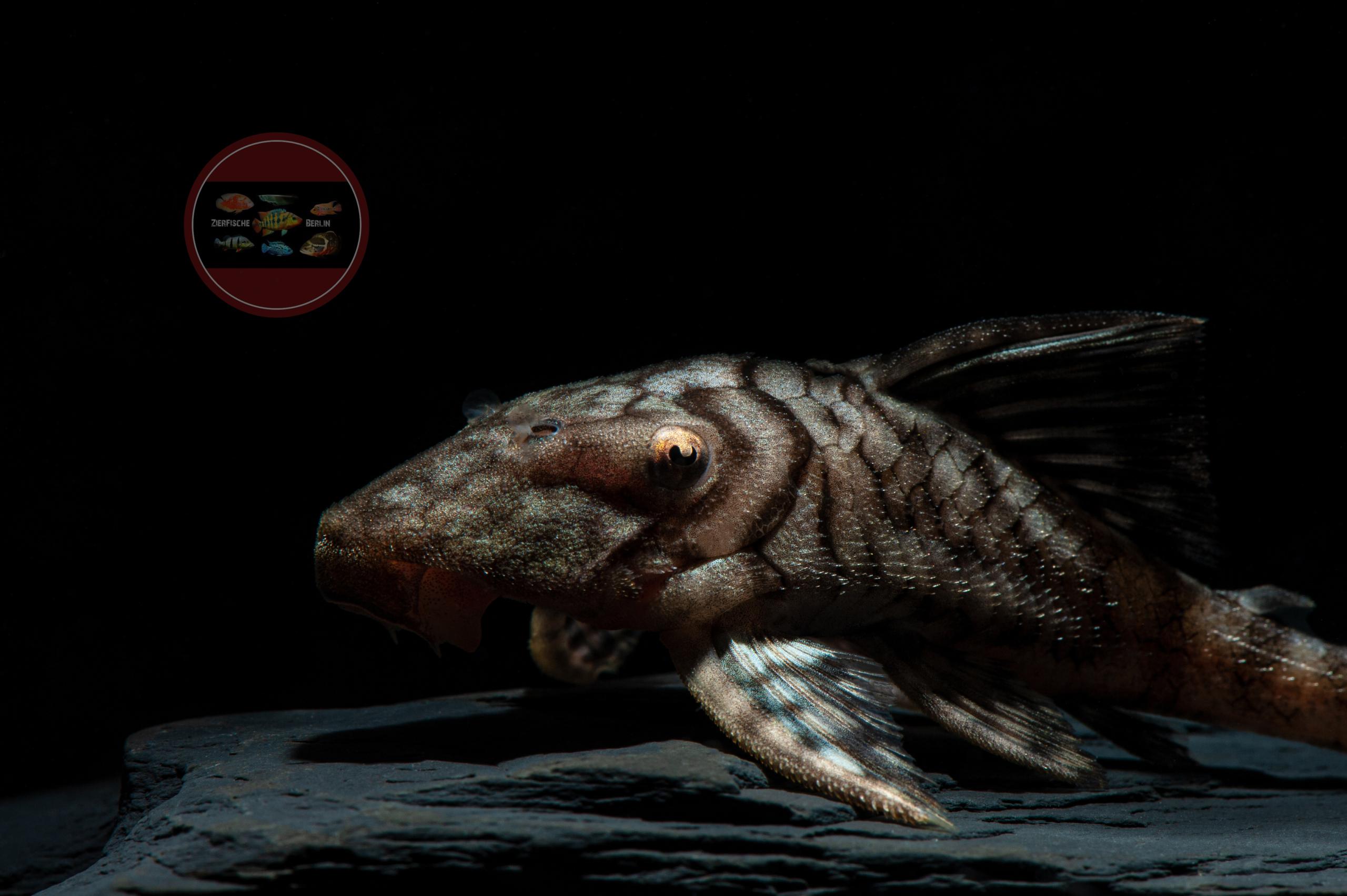 L 203 Panaque sp. Peru