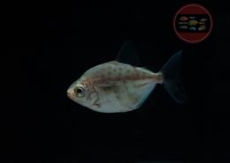 Punktierter Scheibensalmler Metynnis maculatus