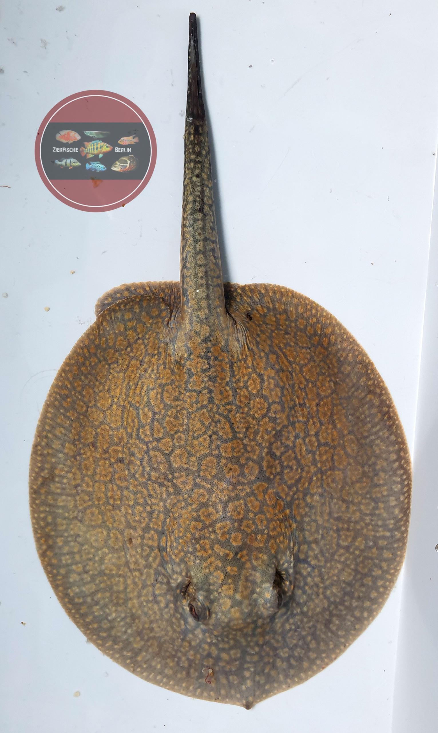 Netz-Stachelrochen, DNZ Potamotrygon reticulatus