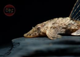 Peru Ucayali Hexenwels Rineloricaria morrowi