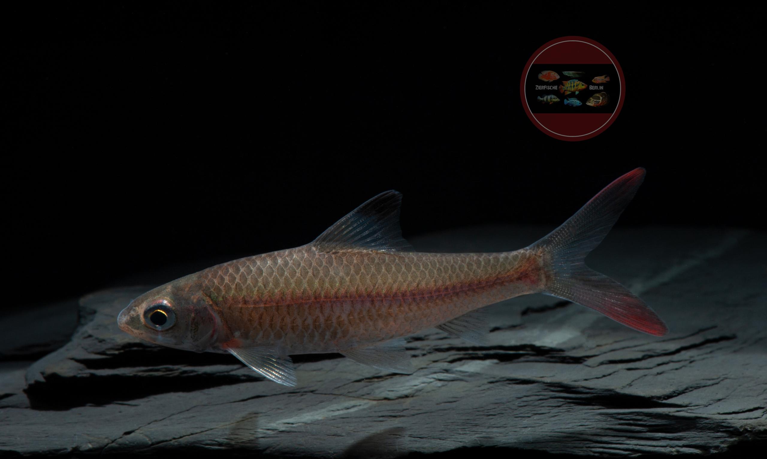 Rotflossenbarbe Discherodontus ashmeadi