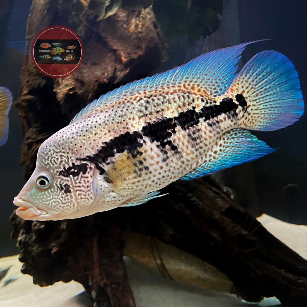 Leopard Buntbarsch Parachromis dovii male männchen