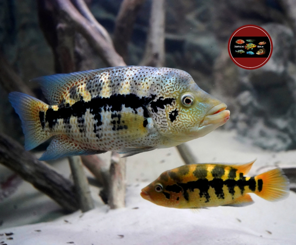 Leopard-Buntbarsch Parachromis dovii pair paar