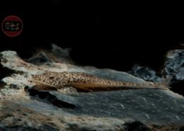 Zwerg-Flunderharnischwels, DNZ Pseudohemiodon lamina