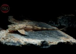 "Rio-Negro-Hexenwels, WF-RARITÄT Rineloricaria sp. ""Rio Negro"""